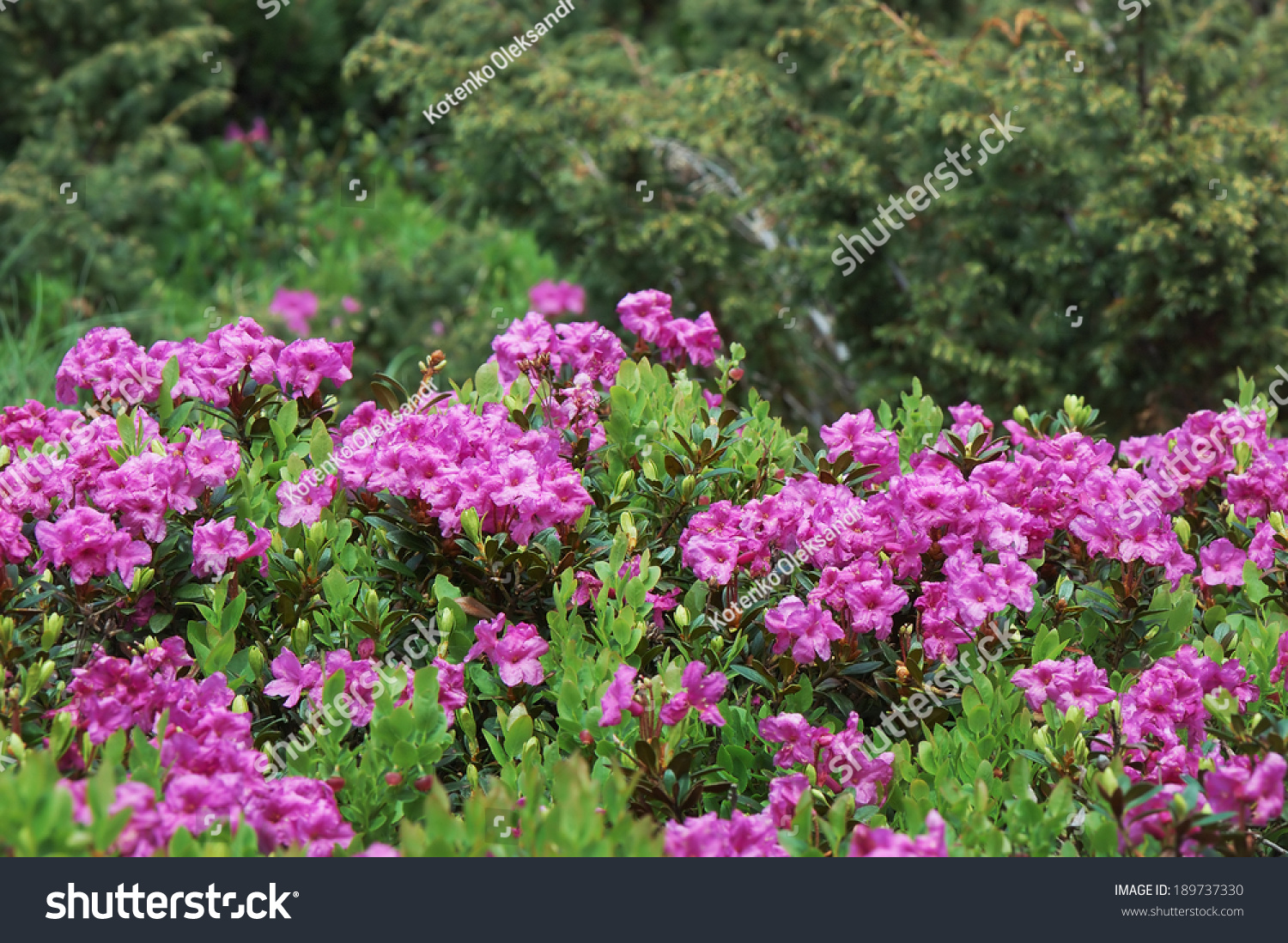 Blooming Meadow Pink Flowers Rhododendron Bushes Stock Photo Edit