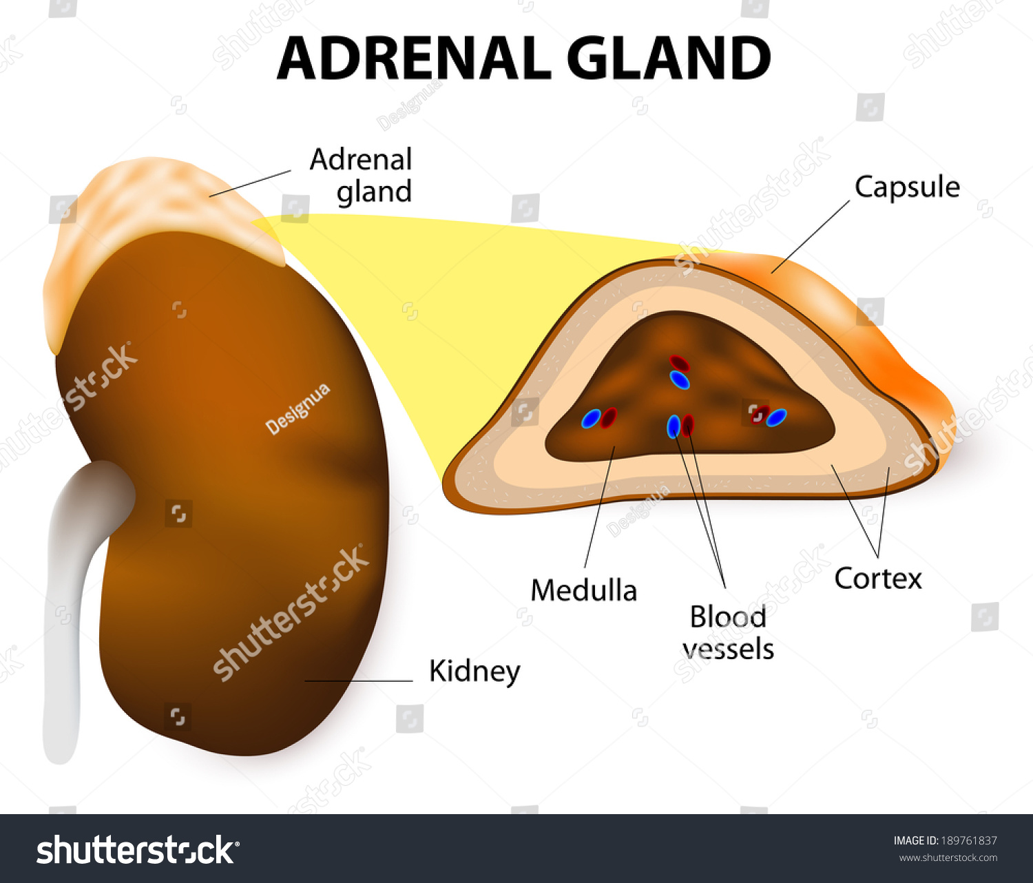 Adrenal Gland: Adrenal Glands Consisting Two Structurally Different Stock