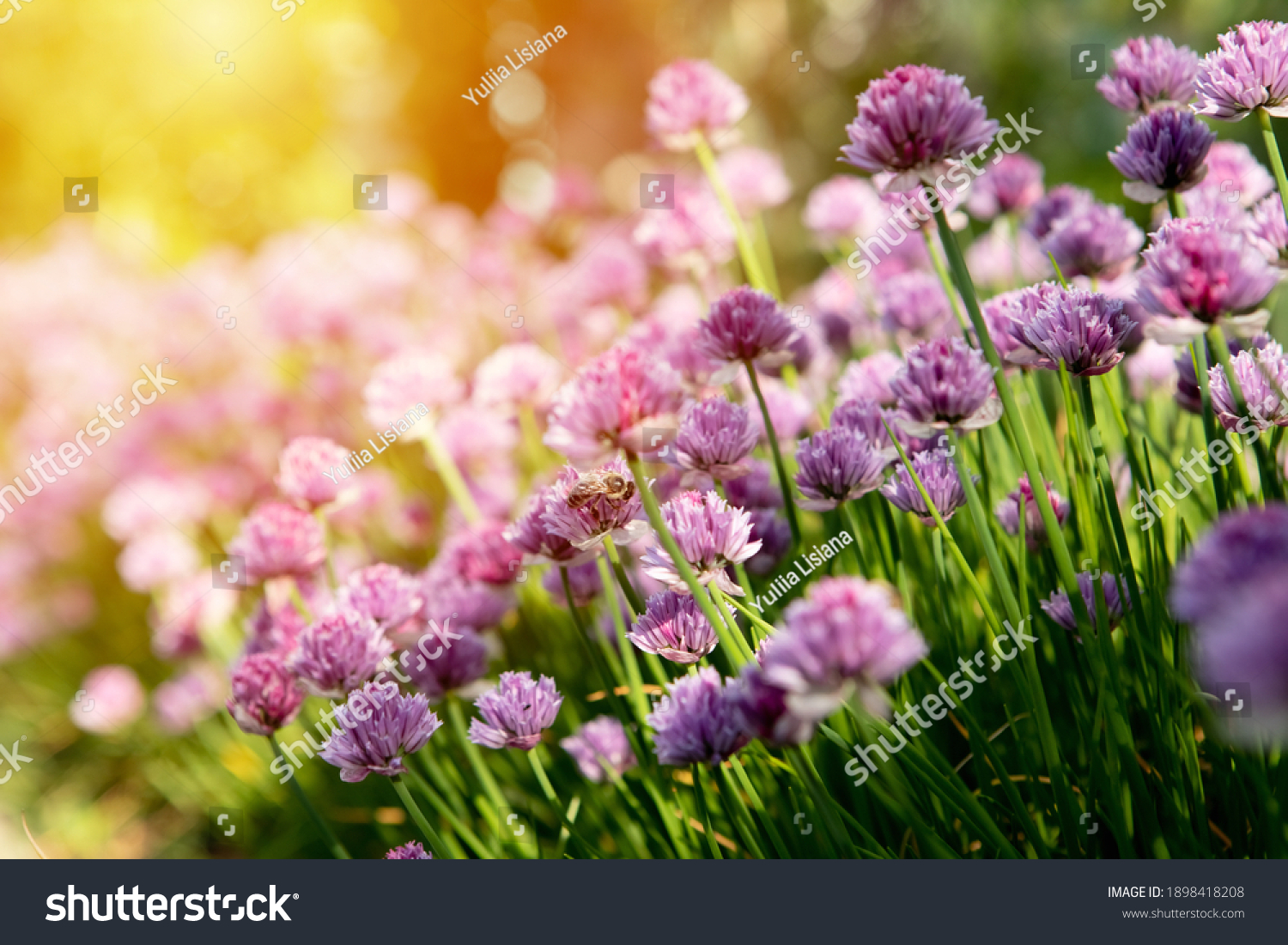 Blooming clover bushes with sunlight in the background. Bumblebee sits on pink clover flower on green grass background close up, bumble bee on blooming purple clover on sunny day #1898418208