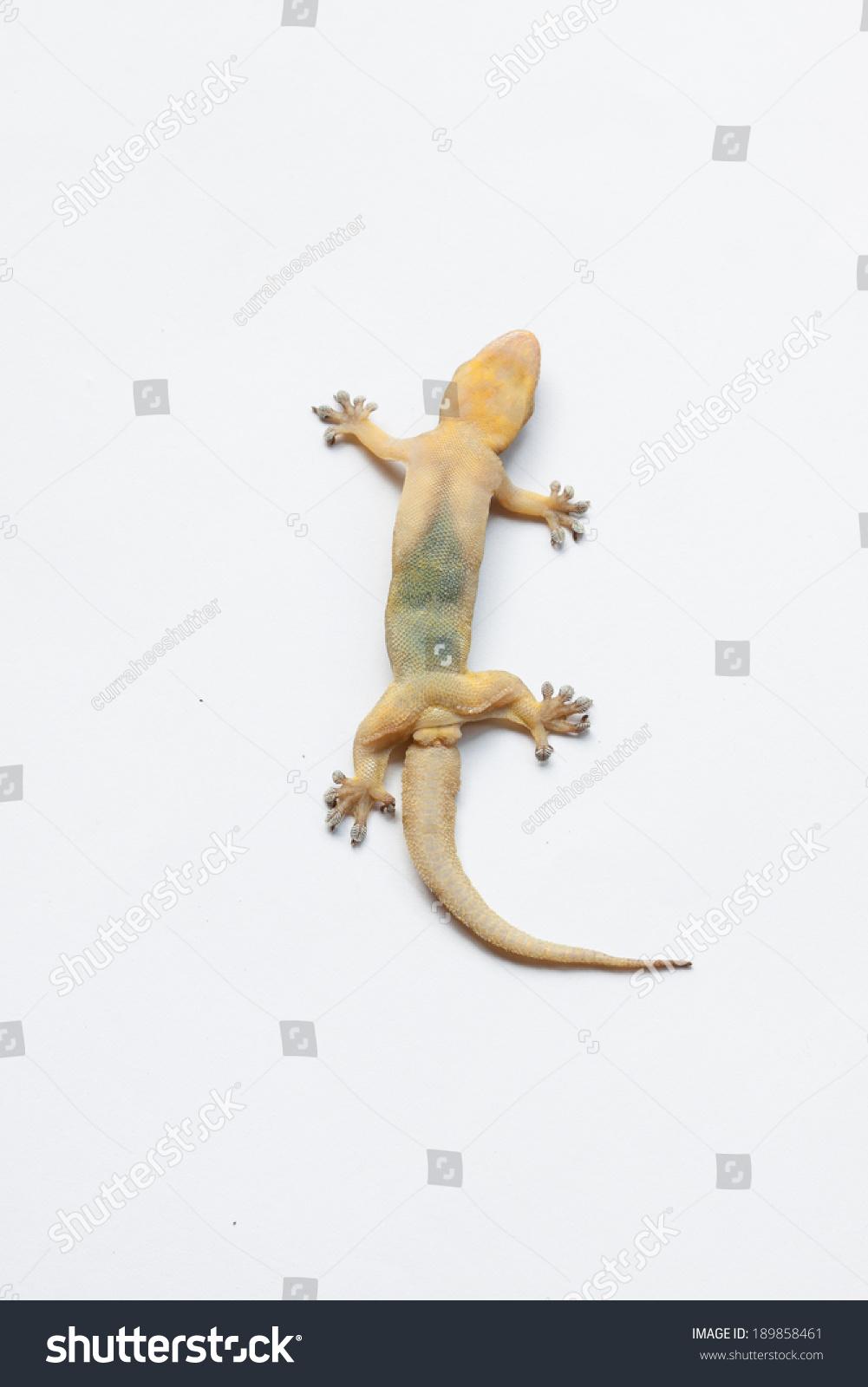 gecko lizard isolated on white house stock photo 189858461