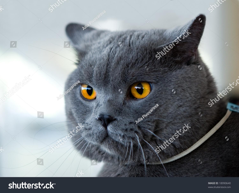 British Blue Cat Cats Show Stock Shutterstock