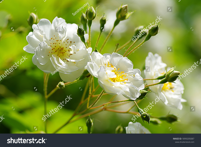 stock-photo-beautiful-white-blossoms-of-