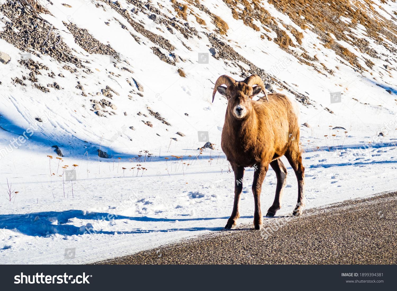 stock-photo-beautiful-bighorn-sheep-in-j