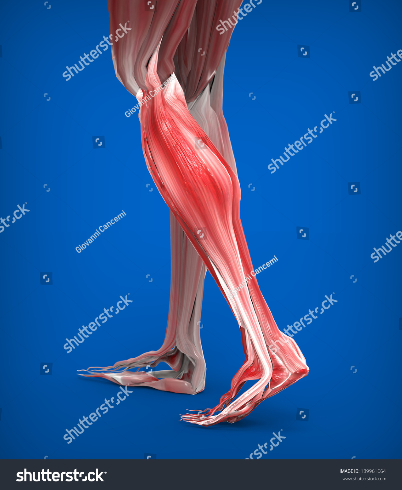 Achilles Tendon Lower Leg Muscles Stock Illustration 189961664