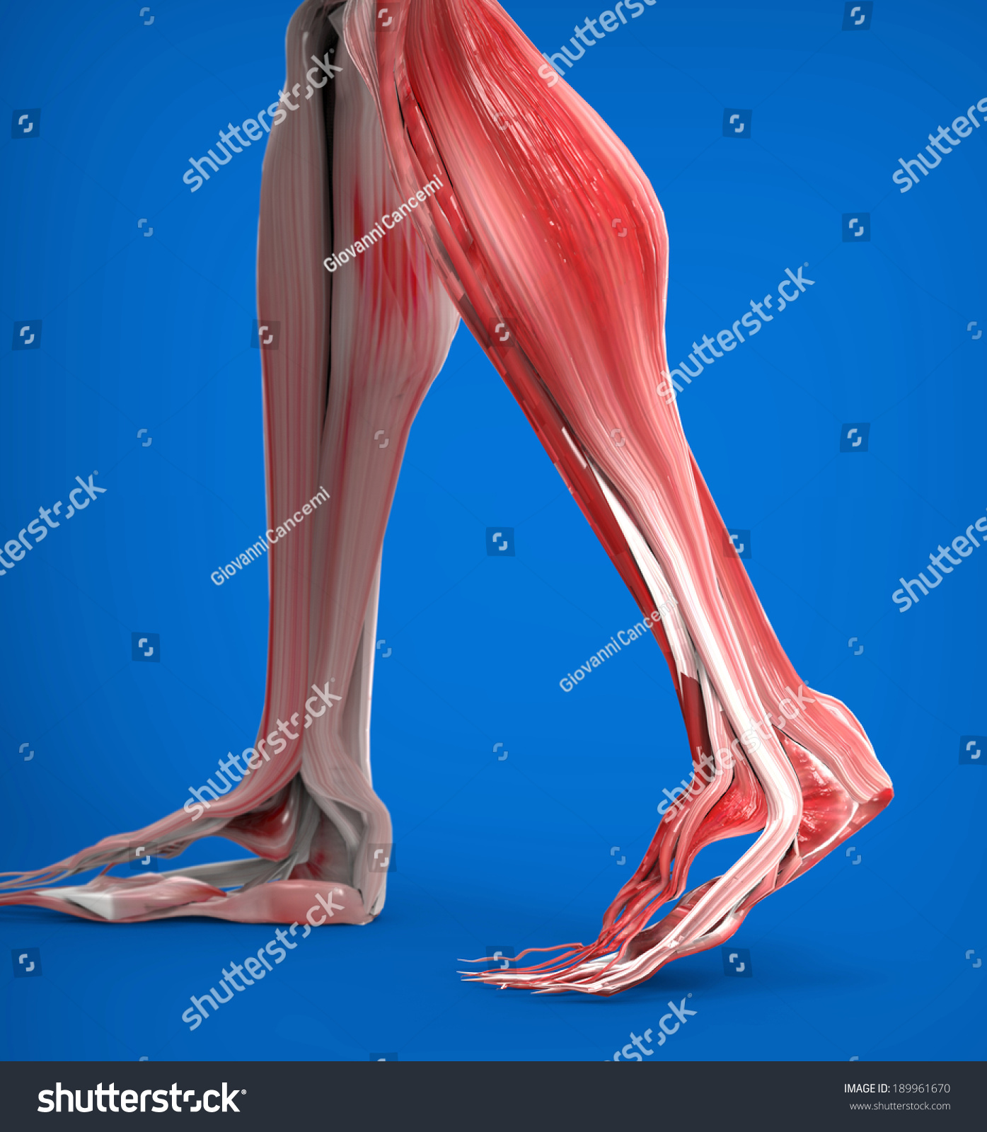 Achilles Tendon Lower Leg Muscles Stock Illustration 189961670 ...