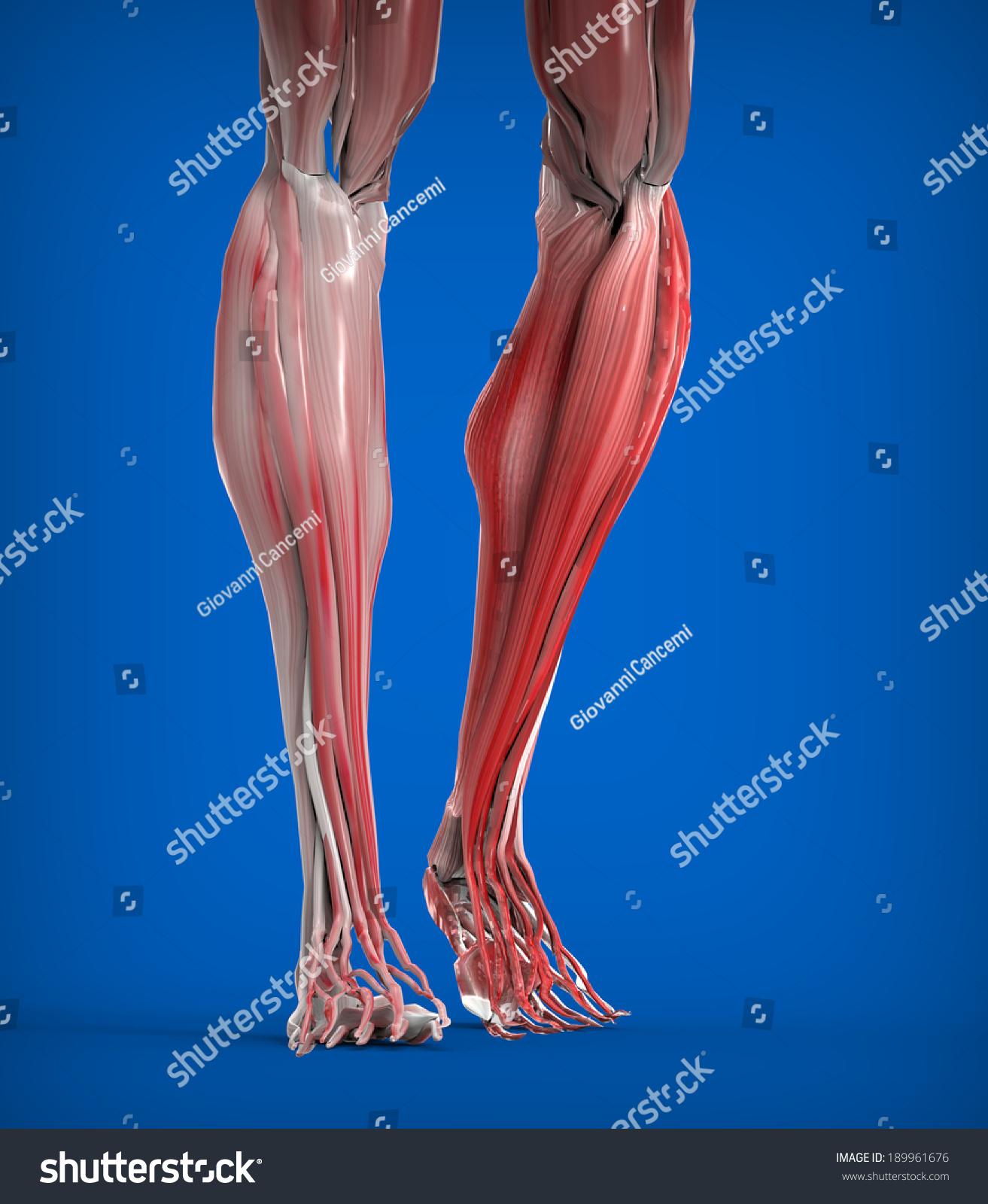 Achilles Tendon Lower Leg Muscles Stock Illustration 189961676 ...