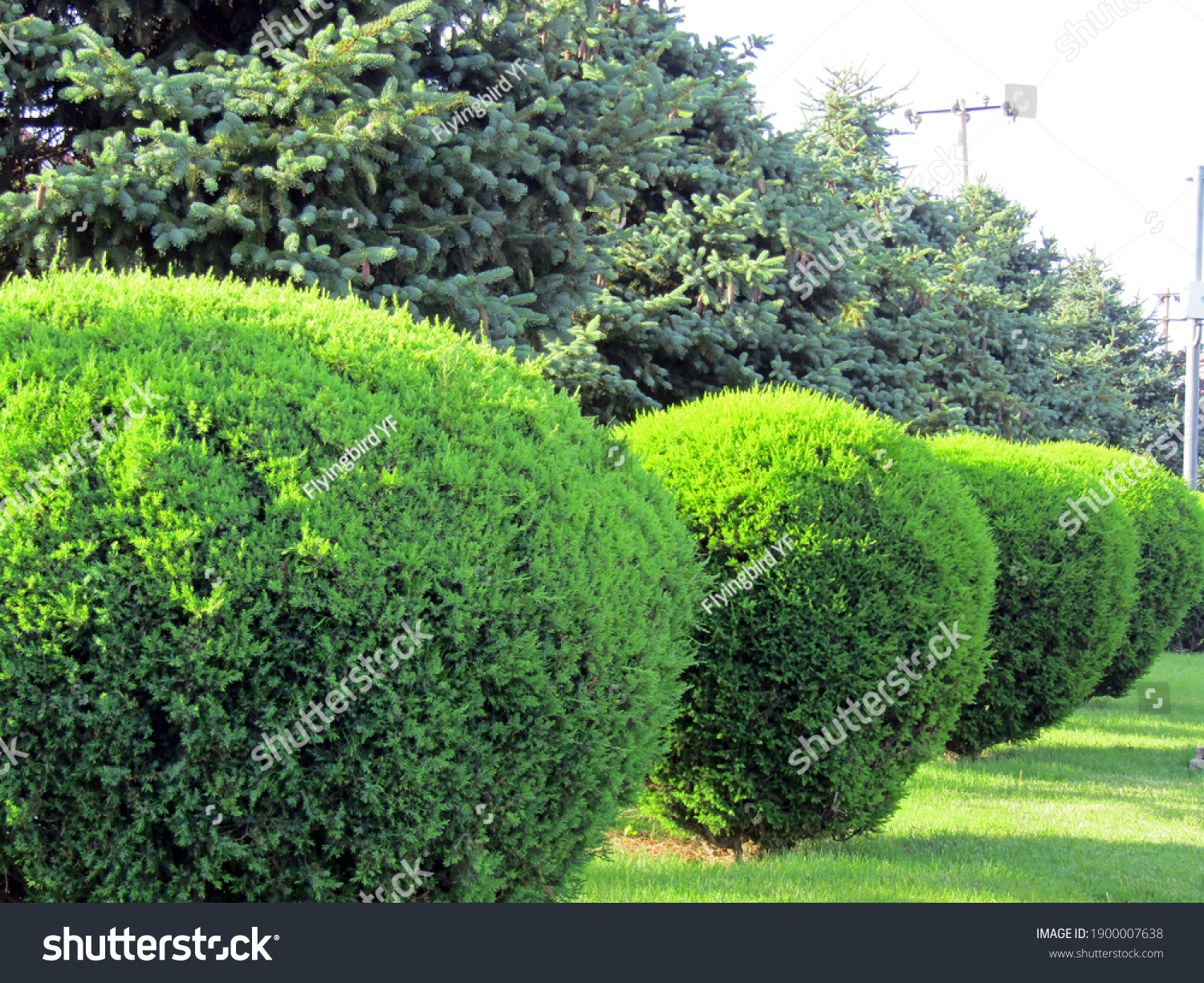 A row of spherically trimmed lush juniper shrub hedges growing on lawn in the front of a row of fir trees with a couple of power poles under sunshine in spring #1900007638