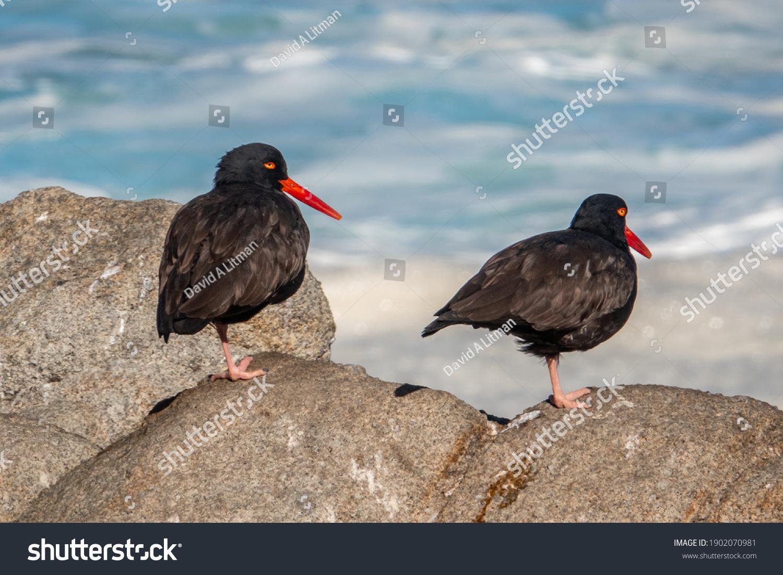 stock-photo-a-pair-of-black-oystercatcher-birds-haematopus-bachmani-along-the-monterey-bay-pacific-coast-1902070981.jpg