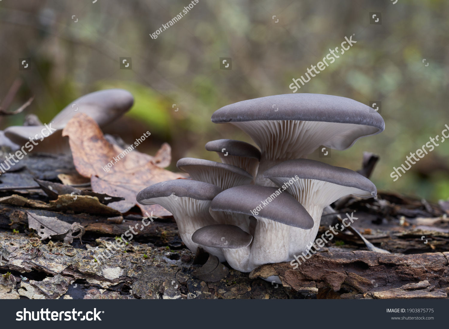 Edible mushroom Pleurotus ostreatus in the floodplain forest. Known as oyster fungus. Group of wild oyster mushrooms growing on the wood.