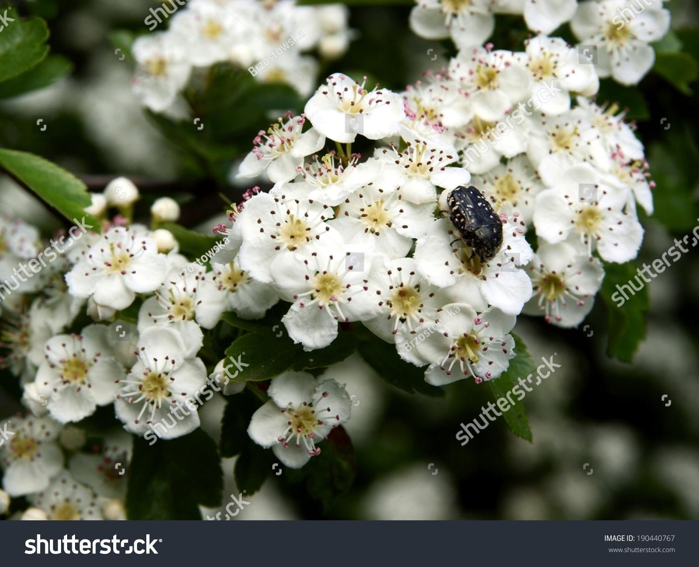 White Flower Thicket Hawthorn Crataegus Laevigata Stock Photo