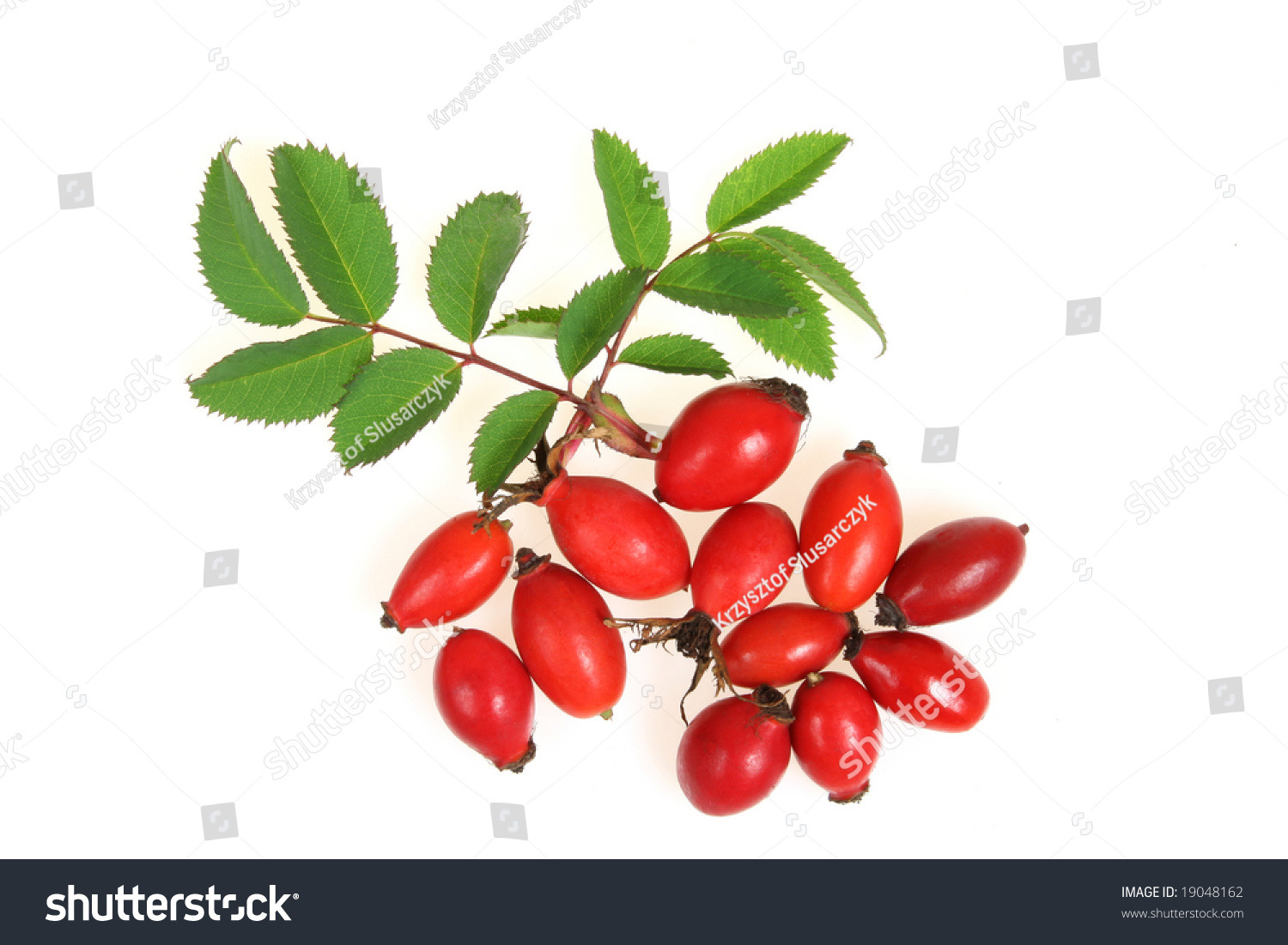 meet whitethorn singles A deciduous small tree to twenty feet, with clusters of white flowers in mid-spring, small red berries in autumn, lasting to late winter the small leaves are divided into three to seven lobes.