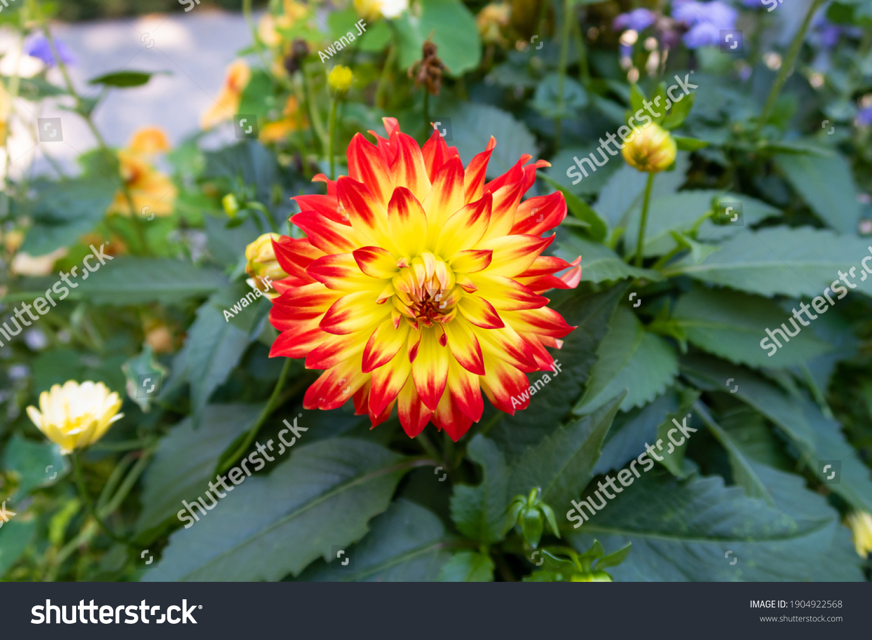stock-photo-beautiful-red-and-yellow-dah