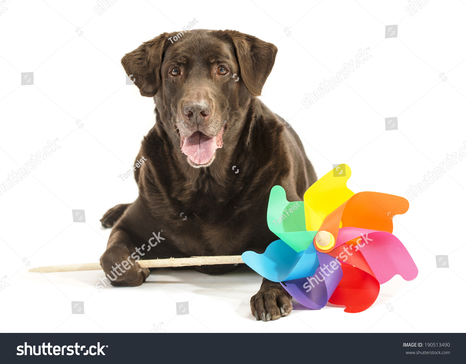 Chocolate Labrador Dog On White Holds Stock Photo Edit Now