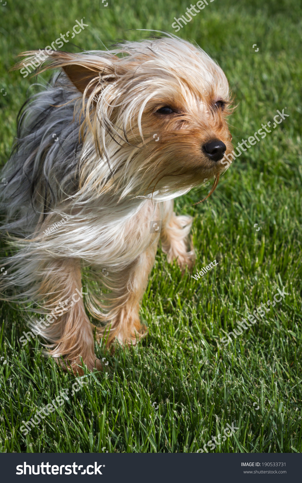 Small Young Yorkshire Terrier Puppy Long Stock Photo Edit