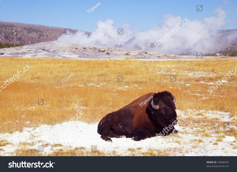 Bison Buffalo Old Faithful Geyser Yellowstone Stock Photo