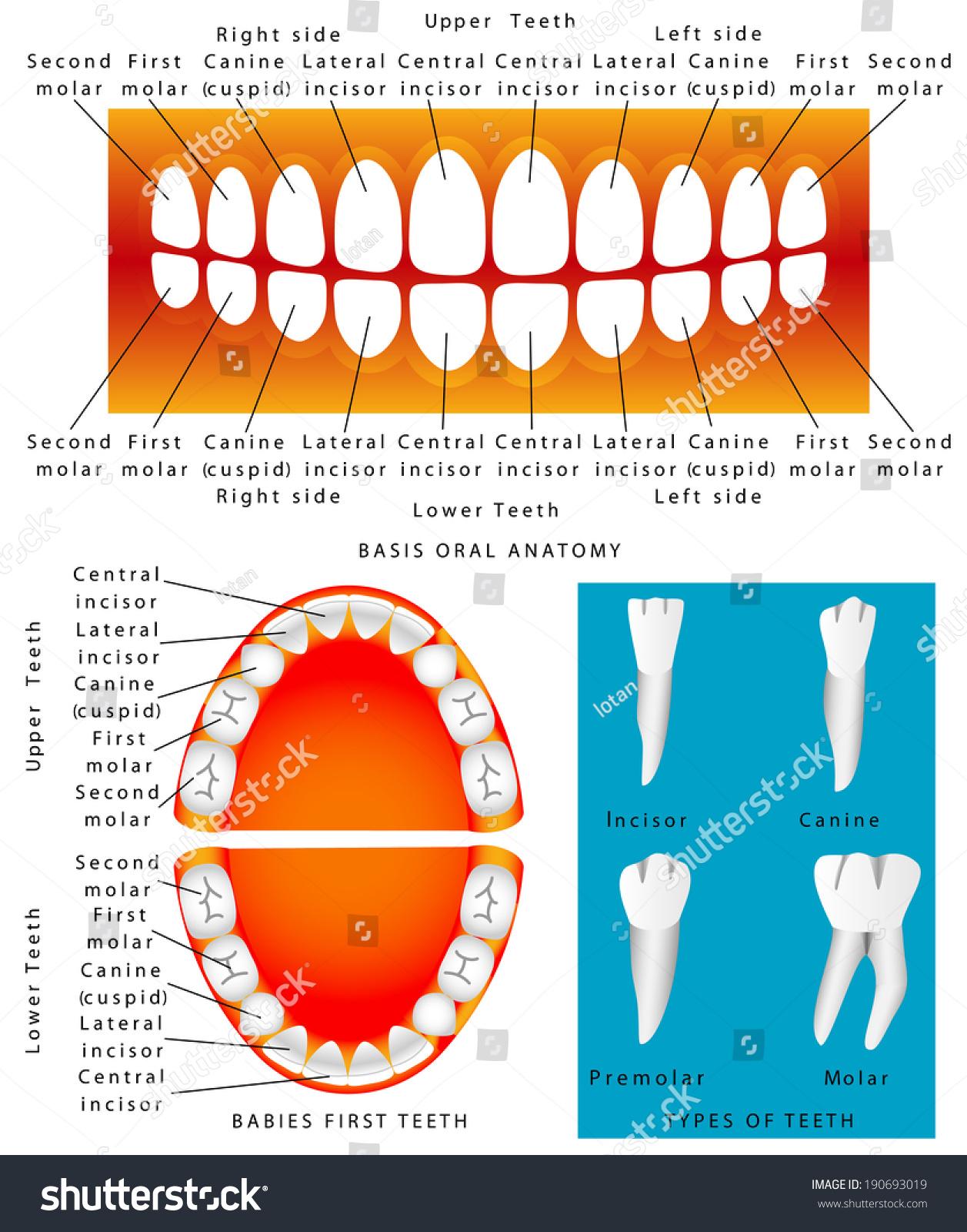 Human Anatomy Children Teeth Baby Teething Stock Vector Royalty