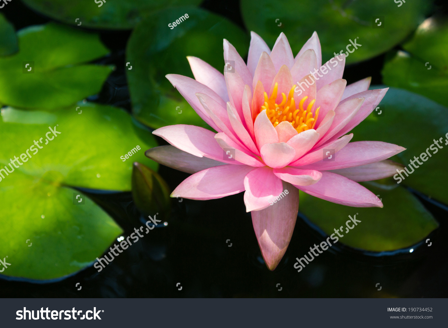 Pink Lotus Blossoms Or Water Lily Flowers Blooming On Pond Ez Canvas