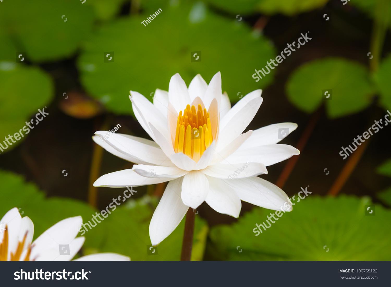 Beautiful Waterlily Or Lotus Flower In Pond Ez Canvas