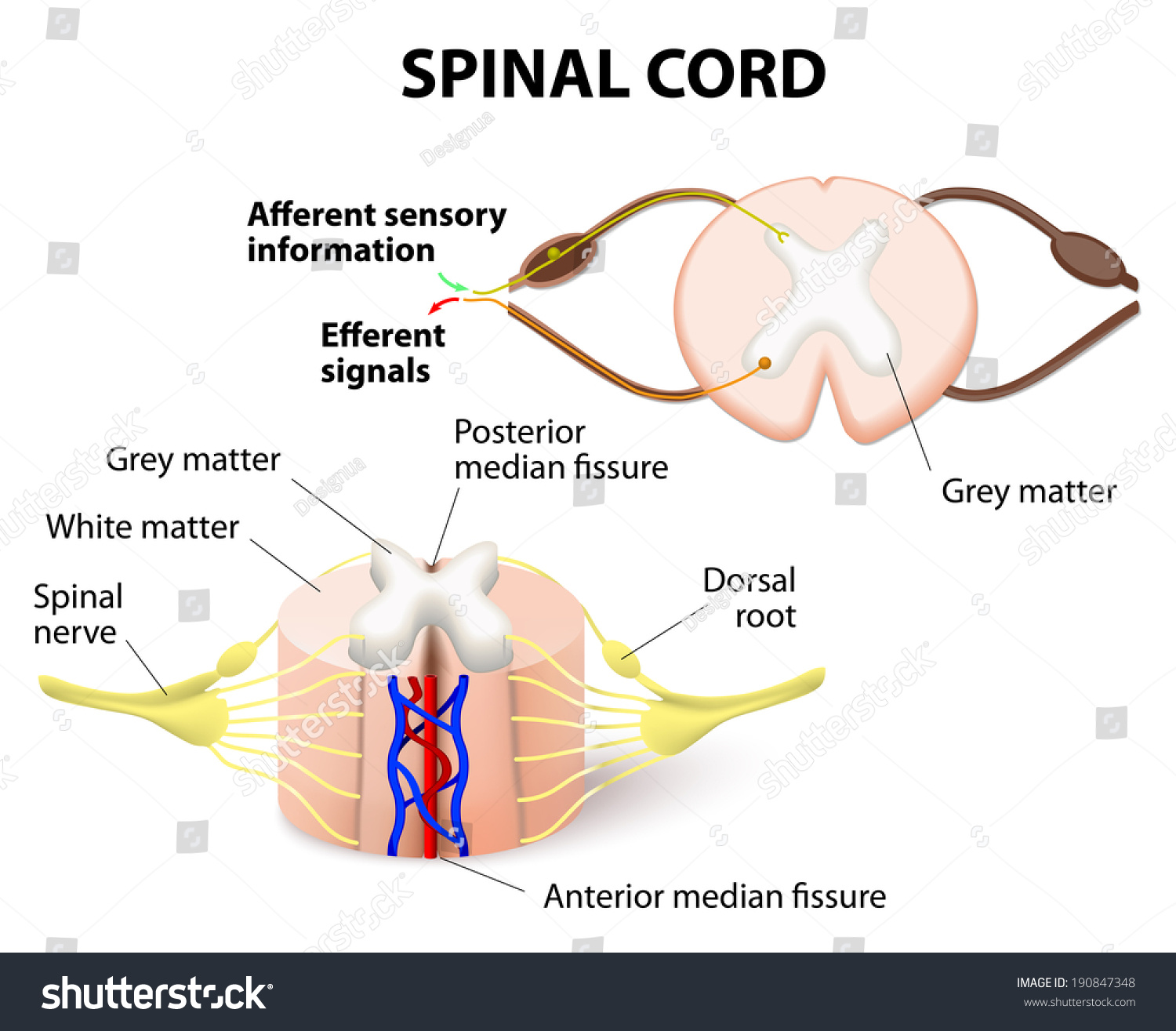 crosssection spinal cord central nervous system stock vector