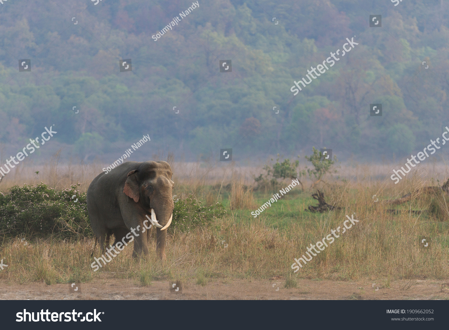 Adult Asian tusker walking in the grassland with the backdrop of Himalayan hills in Corbett Tiger Reserve of Uttarakhand state in India #1909662052