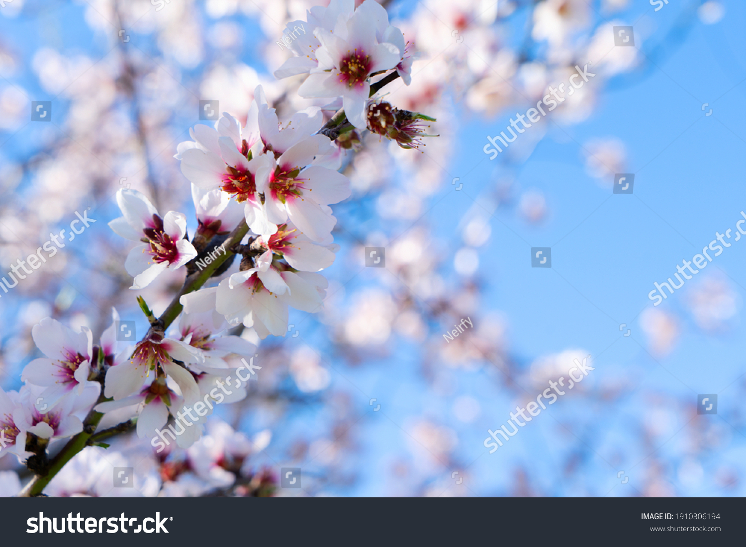 pink almond tree bloom over blue sky #1910306194