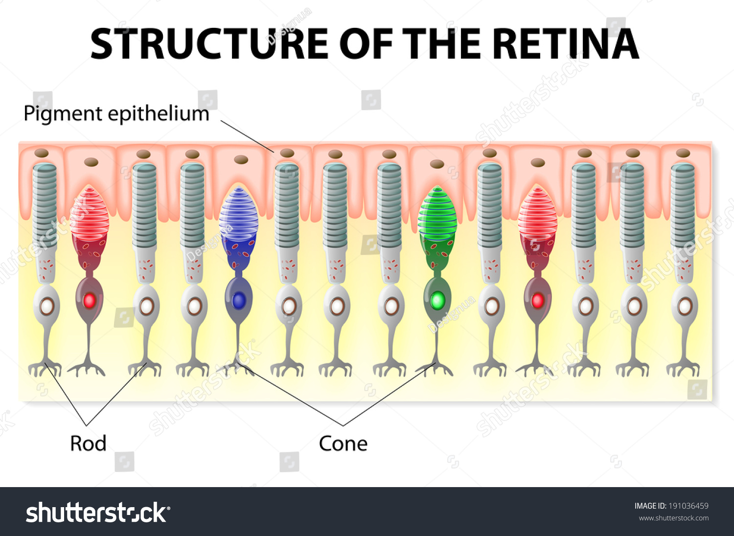 Eye Vision Structure Retina Rods Cones Stock Vector 191036459