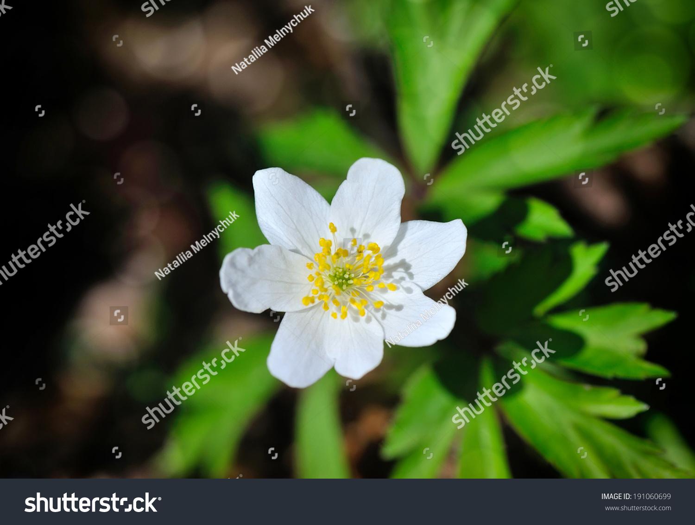 Anemone Sylvestris First Spring Flowers Ez Canvas