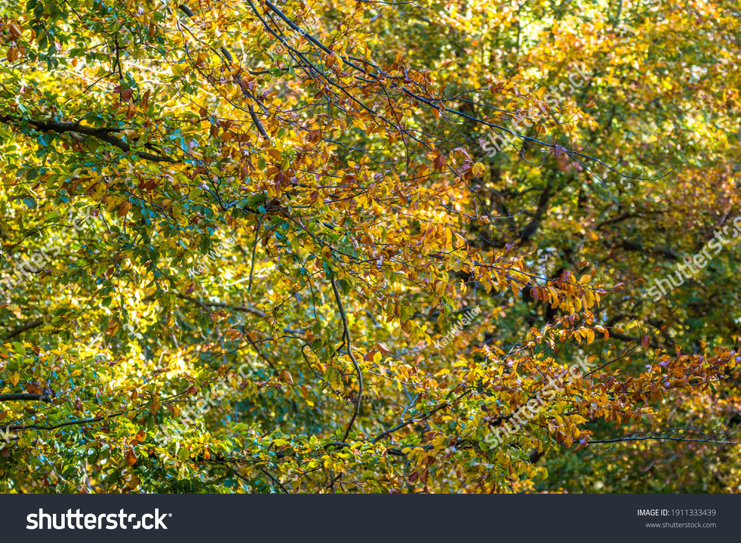 Autumn colours in the tree canopy, United Kingdom #1911333439