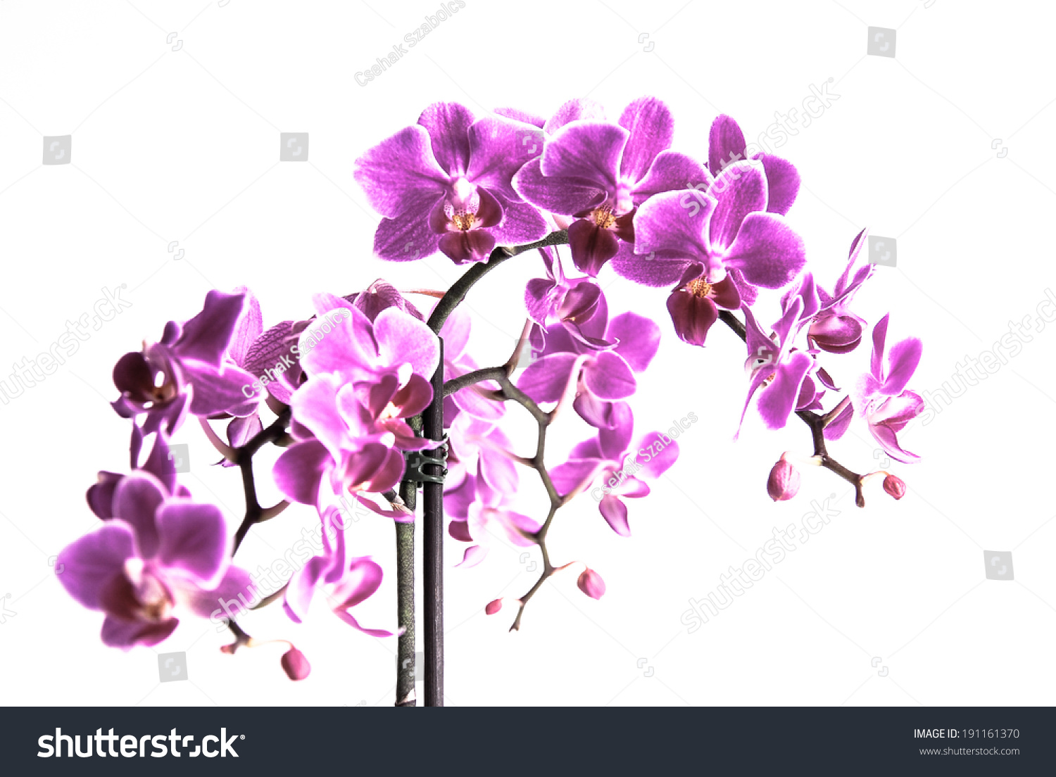 Beautiful Purple Orchid Flowers Cluster Isolated Stock Photo ...