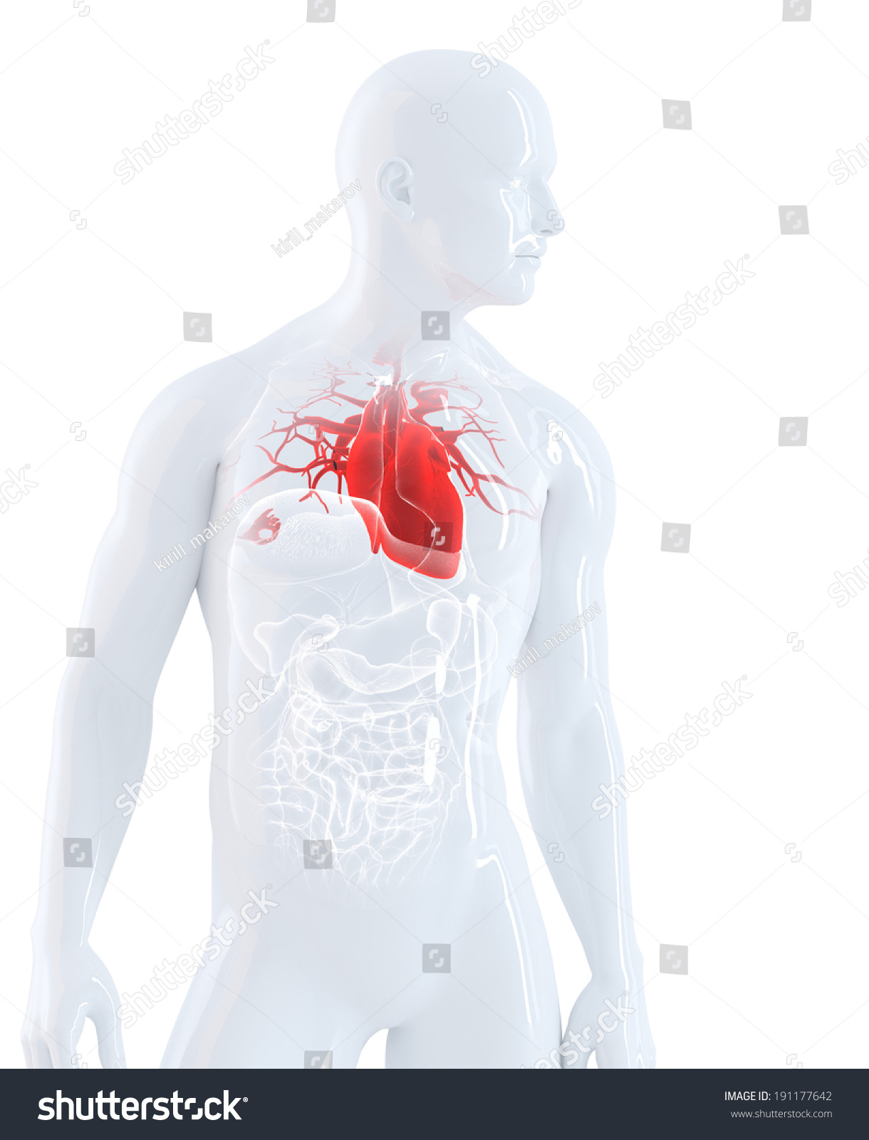 Human Heart Anatomy Isolated Contains Clipping Stock Illustration ...