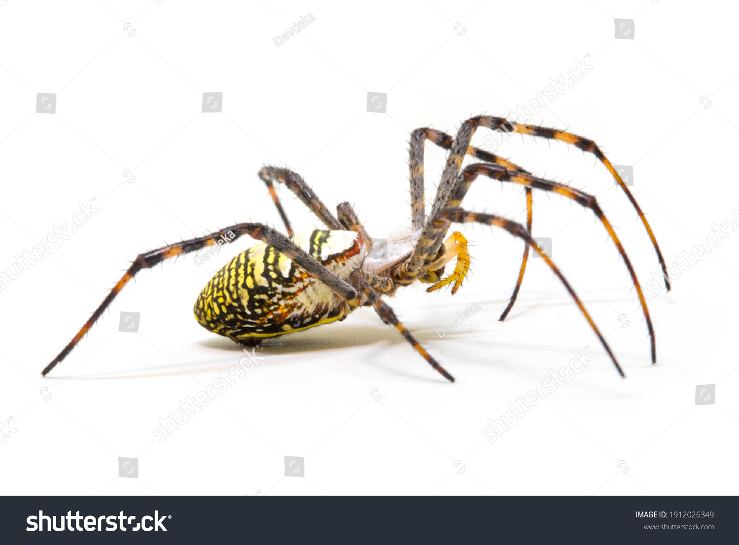 Colorful spider on white background, close up photo. Yellow black spider on white background. Tropical insect crab spider closeup photo. Exotic spider detailed macrophoto. Striped insect. Creepy bug.  #1912026349
