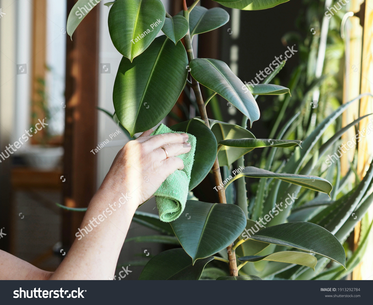 The woman wipes the dust off the leaves with a damp soft cloth. Correct care of indoor plant rubber tree. Ficus elastic. Floriculture and plant growing. #1913292784