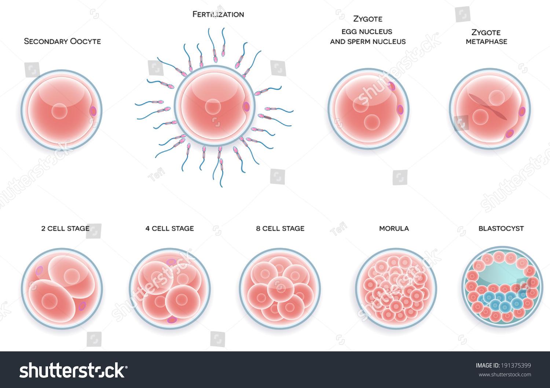 Fertilized Cell Development. Stages From Fertilization ...
