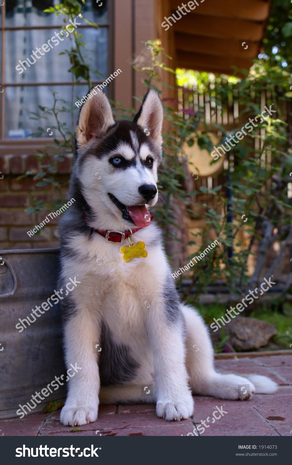 Tenweekold Siberian Husky Bieyed One Blue Stock Photo (Royalty Free ... | Siberian Husky Puppies Bakersfield Ca