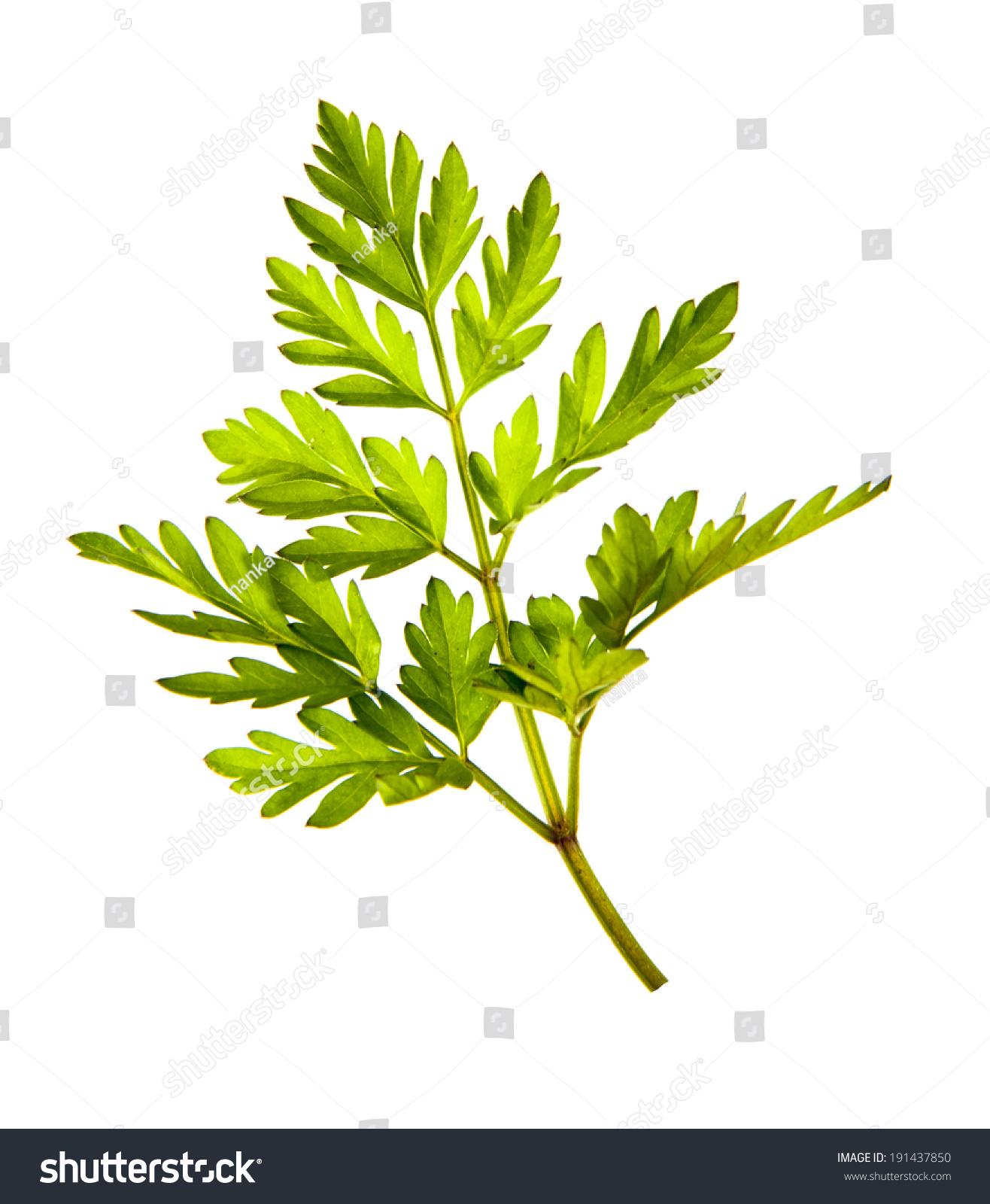 Herbal Medicine Chervil Anthriscus Cerefolium Garden Stock Photo