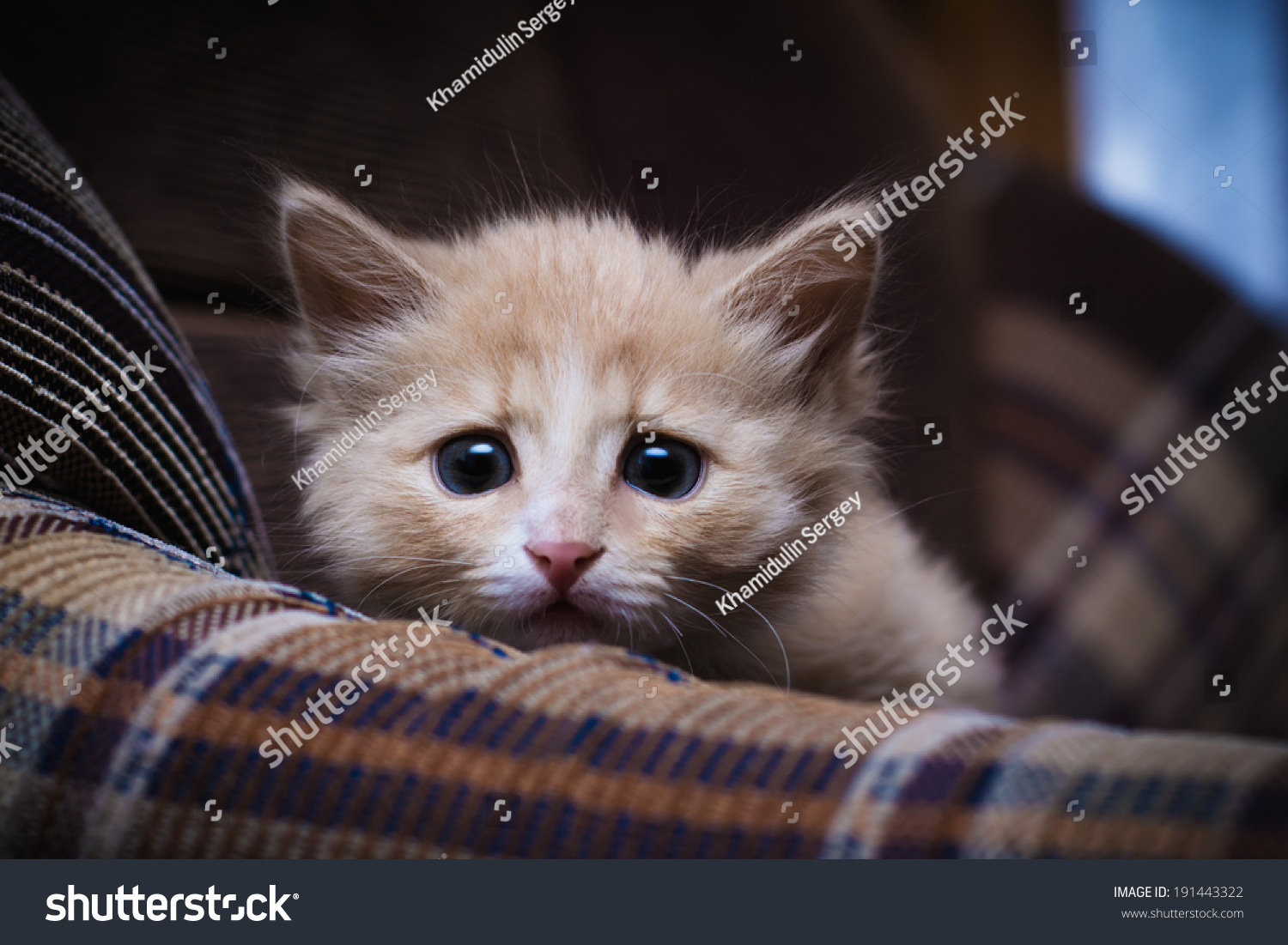 Scared Kitten Hiding At Home. Stock Photo 191443322 ...Scared Kitten Hiding