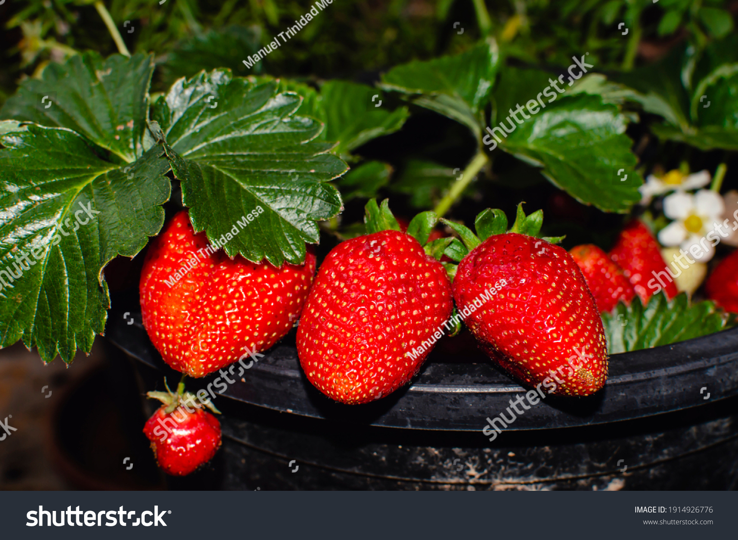 Strawberry plant in a pot, with ripe fruit
