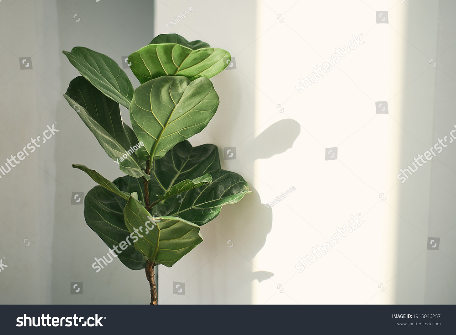 Green leaves of Fiddle Fig or Ficus Lyrata. Fiddle-leaf fig tree the popular ornamental tropical houseplant on white wall background,, Air purifying plants for home, Houseplants With Health Benefits #1915046257
