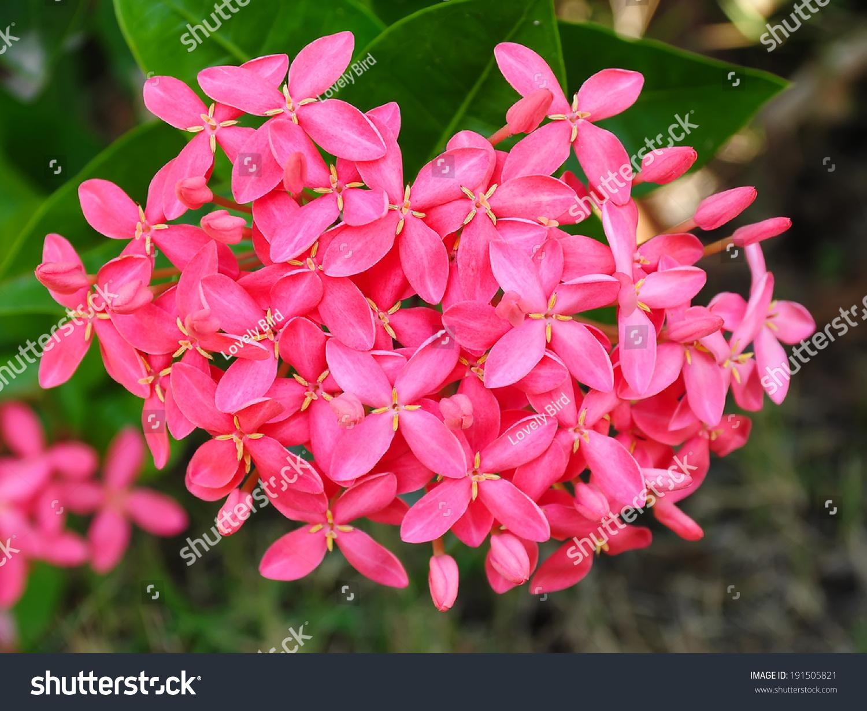 Royalty free closeup pink flower indian jasmine 191505821 stock closeup pink flower indian jasmineientific name ixora chinensis lamk 191505821 izmirmasajfo
