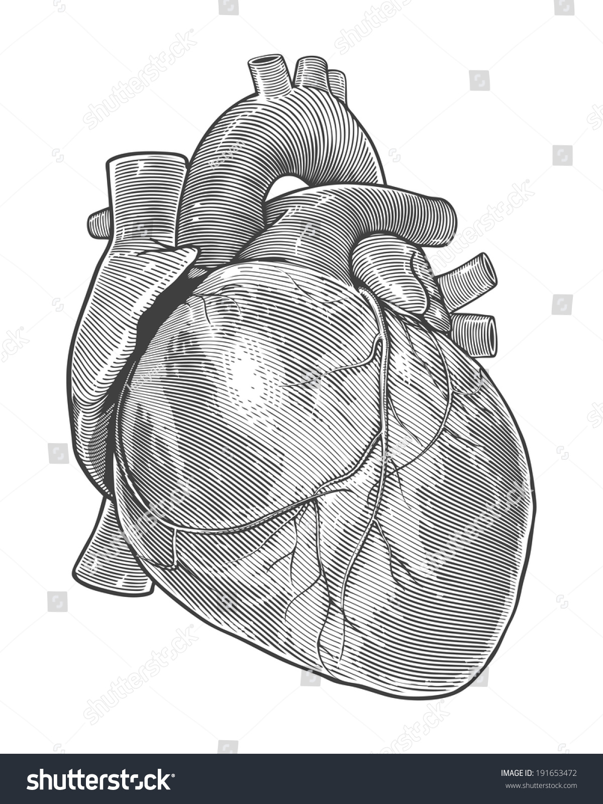 human heart vintage engraving style vector stock vector 191653472, Muscles