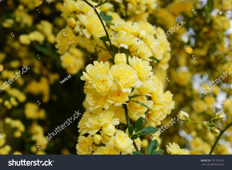 Bush little yellow flowers stock photo royalty free 191765207 bush with little yellow flowers mightylinksfo