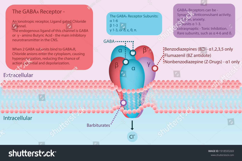stock-vector-gaba-a-receptor-diagram-in-