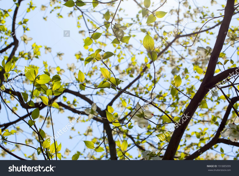 White Flowering Dogwood Cornus Florida In Bloom Ez Canvas
