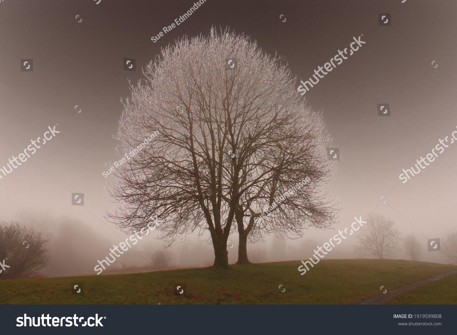 Atmospheric view of large ash tree on a cold and frosty morning