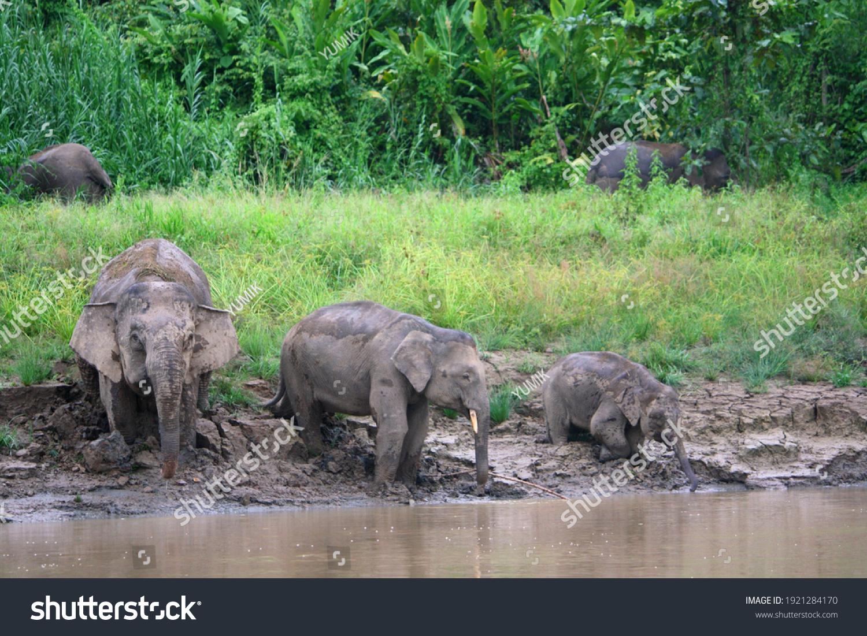 Borneo Pygmy Elephant (Elephas maximus borneensis) in Borneo, Malaysia #1921284170