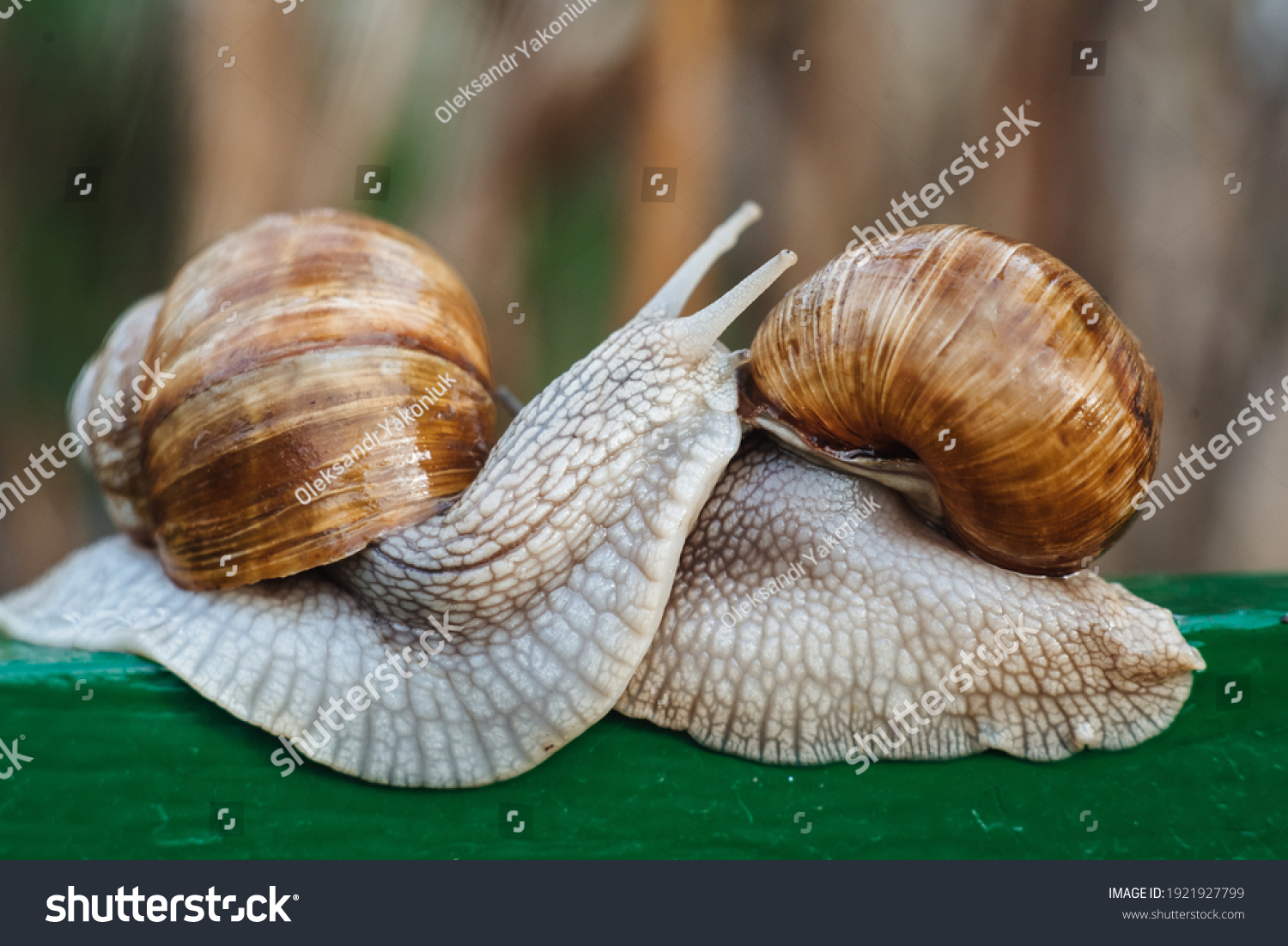 Helix pomatia (Roman snail, Burgundy snail, edible snail, escargot) is a species of large, edible, air-breathing land snail. Gastropods. Two land snails during mating. Fauna of Ukraine #1921927799