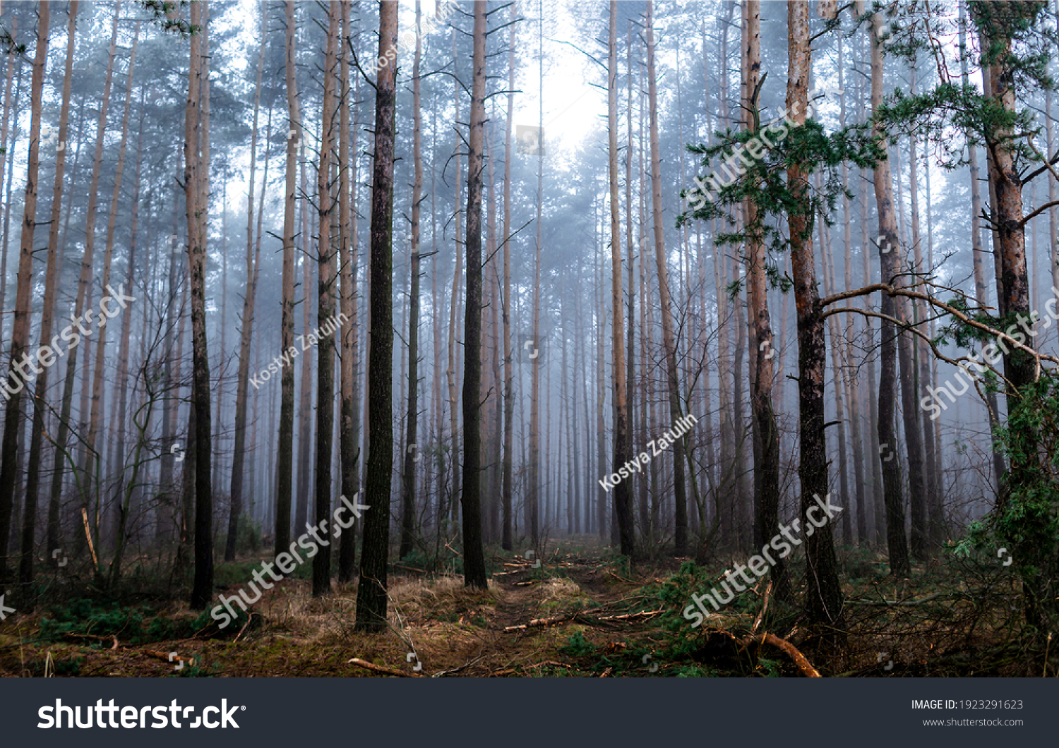 Forest mist trees background. Misty forest trees. Forest in mist. Forest mist background #1923291623