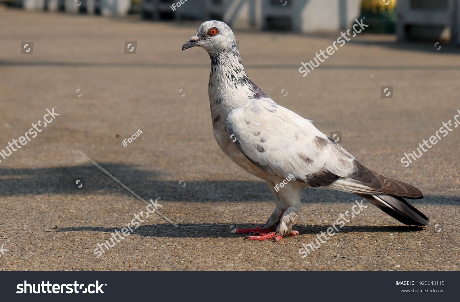 stock-photo-white-pigeon-on-granulated-t