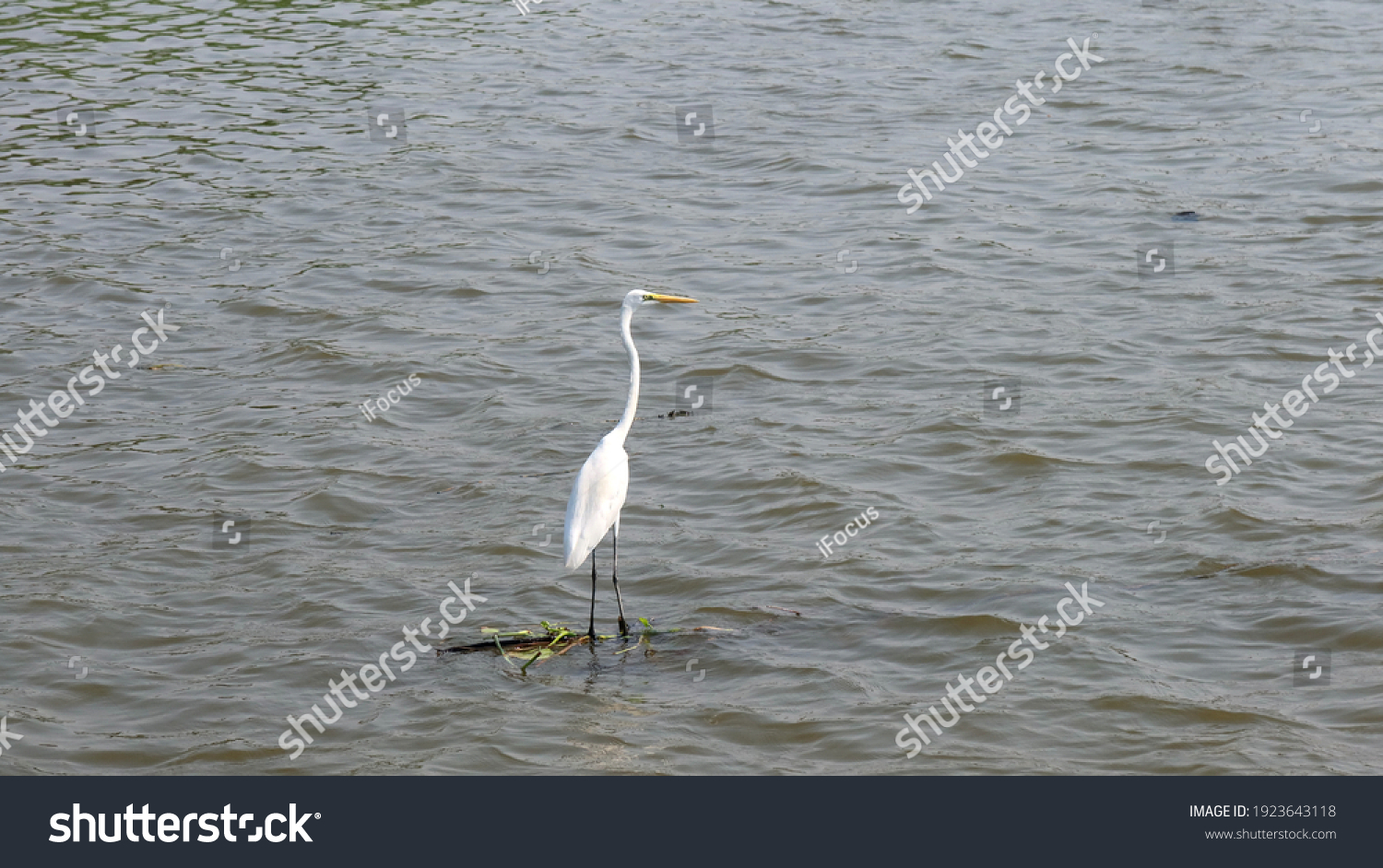 stock-photo-elegant-great-egret-stands-o