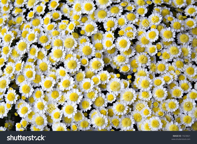 White Yellow Mum Flowers Part Daisy Stock Photo Edit Now 1923821